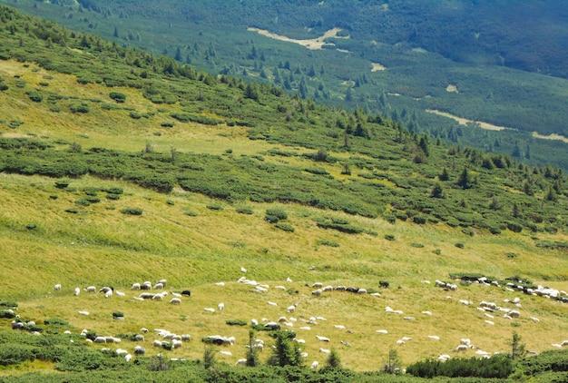 Stado owiec w górach widok ze ścieżki karpackiej na szczyt goverla. karpaty, ukraina, europa.