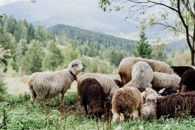 Stado owiec w górach