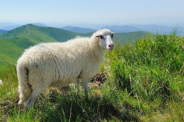 Stado owiec w górskiej dolinie