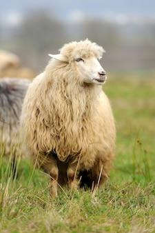 Stado owiec w letniej łące