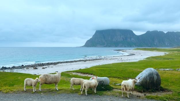 Stado owiec w pobliżu plaży haukland. letni pochmurny widok