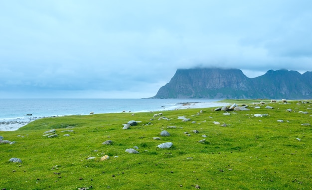 Stado owiec w pobliżu plaży haukland. pochmurny widok latem. (norwegia, lofoty).