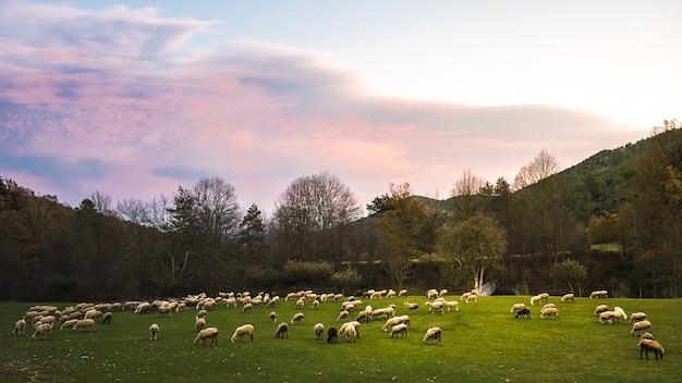 Stado owiec wypasanych na wsi