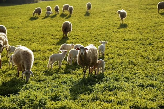 Stado owiec wypasanych na wzgórzach toskanii. włochy.