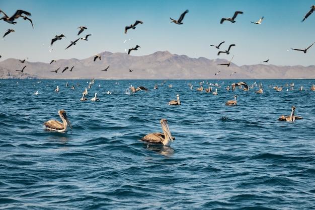 Stado pelikanów brunatnych na żerowaniu. kalifornia dolna, zatoka kalifornijska, meksyk