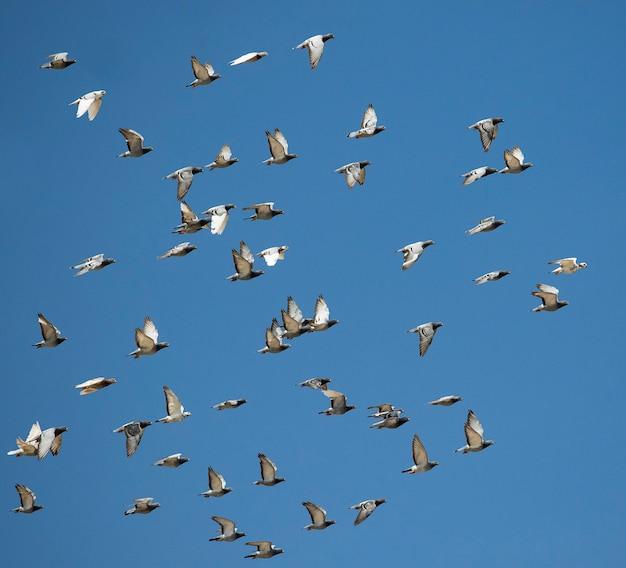 Stado prędkości wyścigi gołębi ptaków latających przeciw jasne błękitne niebo