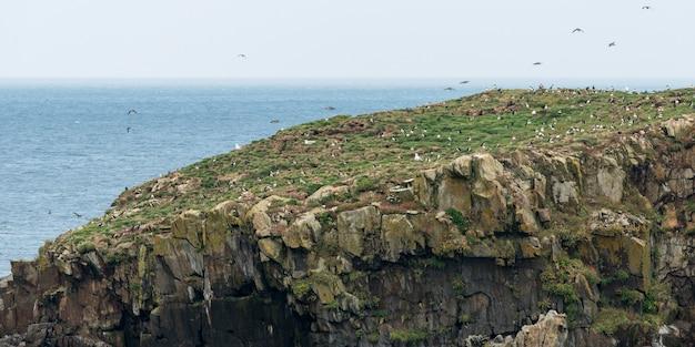 Stado ptaków maskonurów atlantyckich na wybrzeżu, little catalina, wyspa north bird, półwysep bonavista, ne