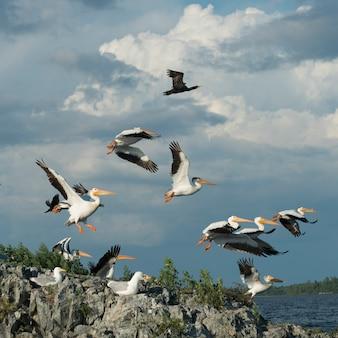 Stado ptaków na wybrzeżu, lake of woods, ontario, kanada