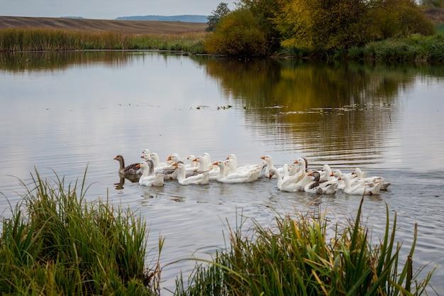 Stado ptaków pływa po rzece w pobliżu brzegu z turzycą