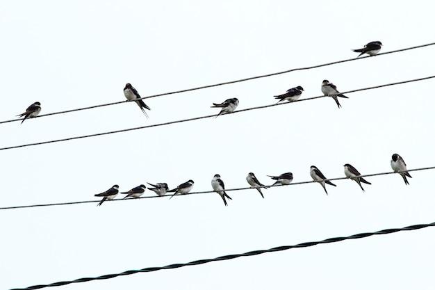 Stado ptaków siedzi na przewodach elektrycznych