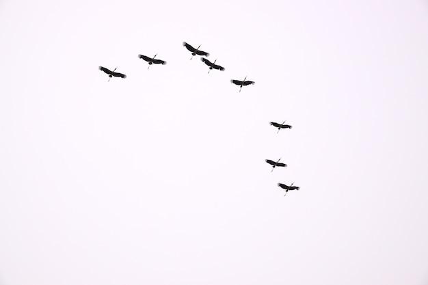Stado ptaków z białym tłem
