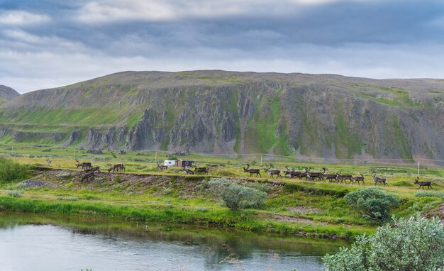 Stado reniferów na wybrzeżu sandfjord, półwysep varanger, finnmark, norwegia