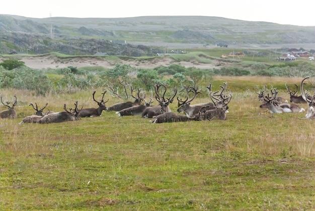 Stado reniferów w parku narodowym varangerhalvoya, finnmark, norwegia