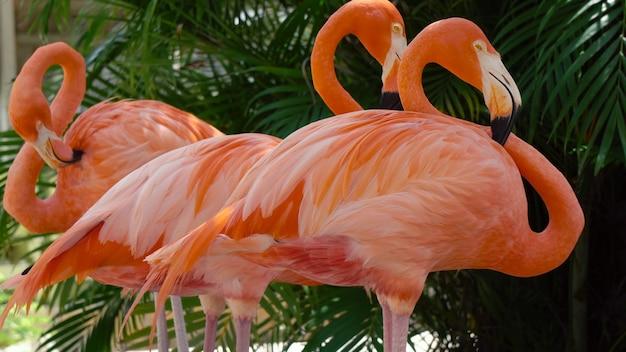 Stado różowych flamingów karaibskich, phoenicopterus ruber (flaming karaibski)