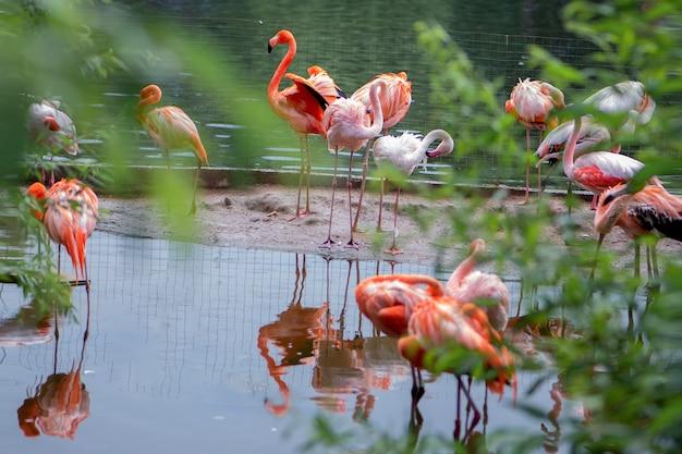 Stado różowych flamingów na stawie