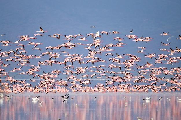 Stado różowych flamingów z jeziora manyara w tanzanii. afrykańskie safari