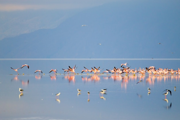 Stado różowych flamingów z jeziora manyara w tanzanii