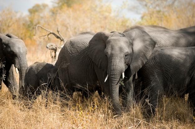 Stado słoni - kugger - afryka południowa