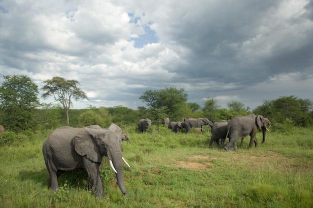 Stado słoni na równinie serengeti