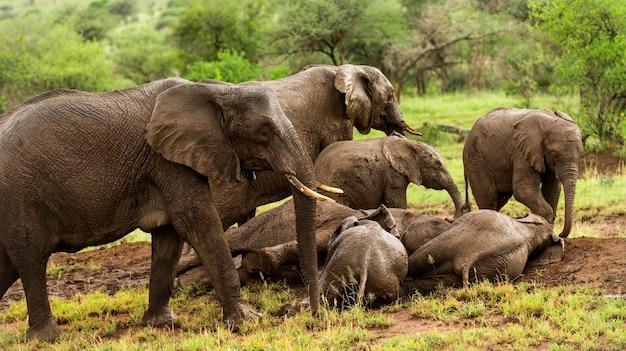 Stado słoni odpoczywających, serengeti, tanzania, afryka