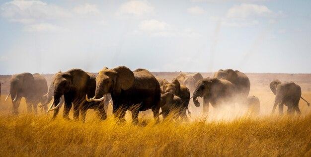 Stado słoni w afryce spacerując po trawie w parku narodowym tarangire