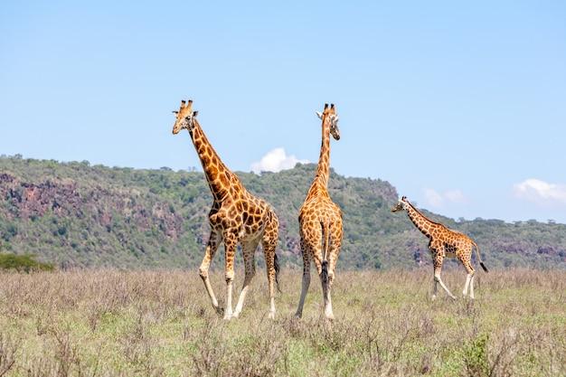 Stado trzech żyraf w sawannie