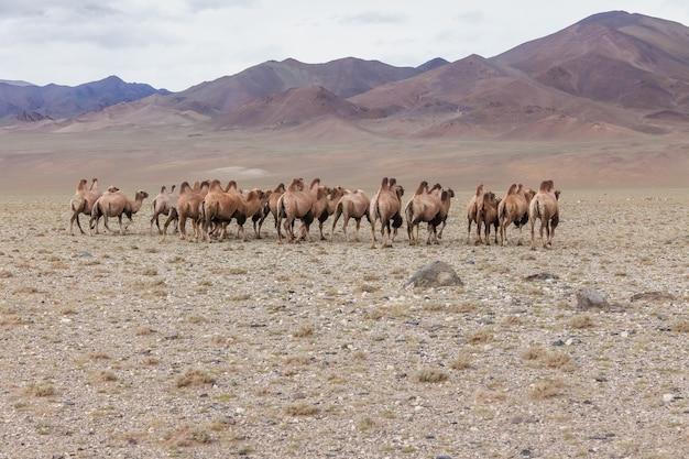 Stado wielbłądów w stepie z górami w tle. ałtaj, mongolia