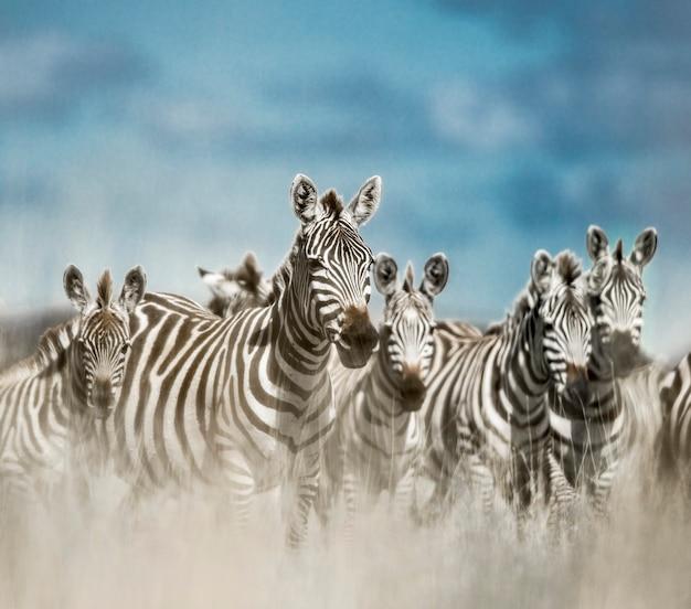 Stado zebr na dzikiej sawannie, serengeti, afryka