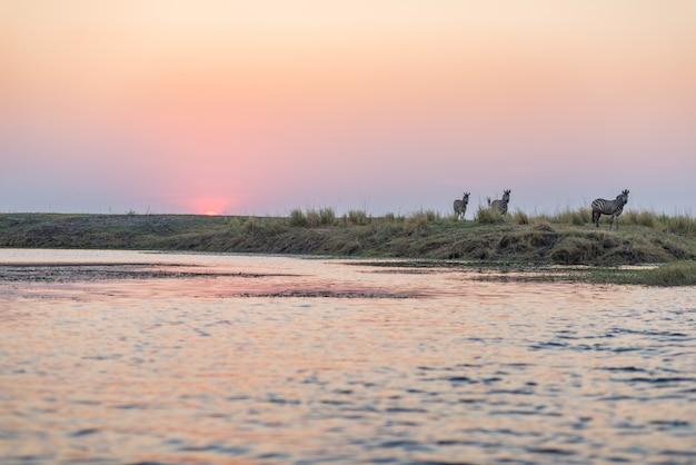 Stado zebry chodzi w krzaku w backlight przy zmierzchem. malownicze kolorowe światło słoneczne na horyzoncie. wildlife safari w afrykańskich parkach narodowych i rezerwatach dzikiej przyrody.