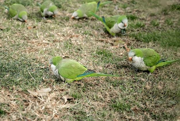 Stado zielonych papug na trawie