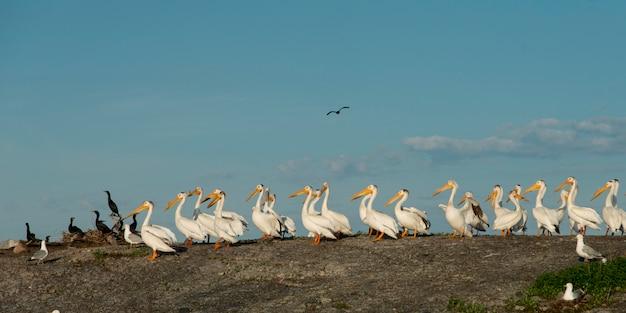 Stado żółtych bocianów (ibis mycteria) i kormoran (phalacrocorax carbo) na wybrzeżu, jezioro t