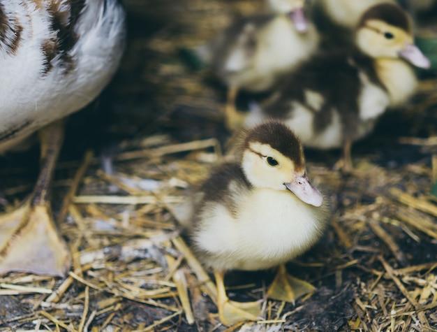 Stado żółtych kacząt siedzi na sianie w stodole.