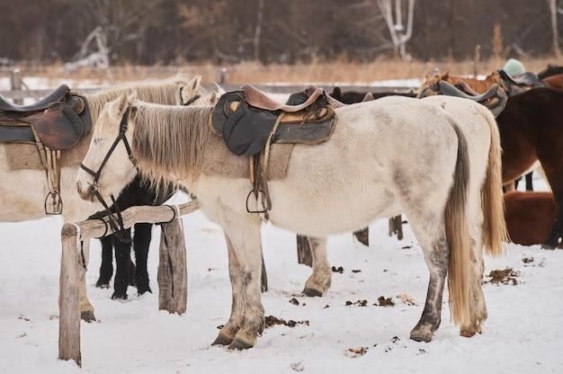 Stado źrebiąt na zaśnieżonej łące w głęboką zimę.