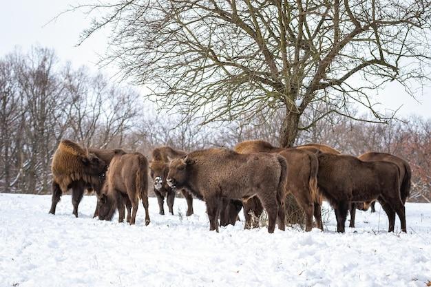 Stado żubrów stojących w lesie w okresie zimowym