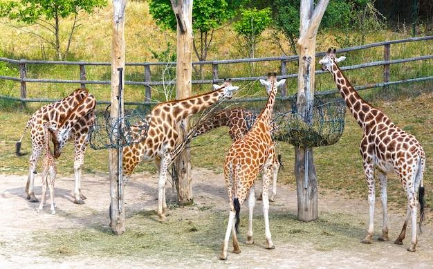 Stado żyraf w pobliżu karmnika.