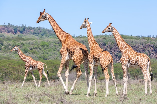 Stado żyraf w sawannie