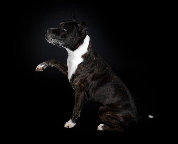 Staffordshire bull terrier przed czarną ścianą