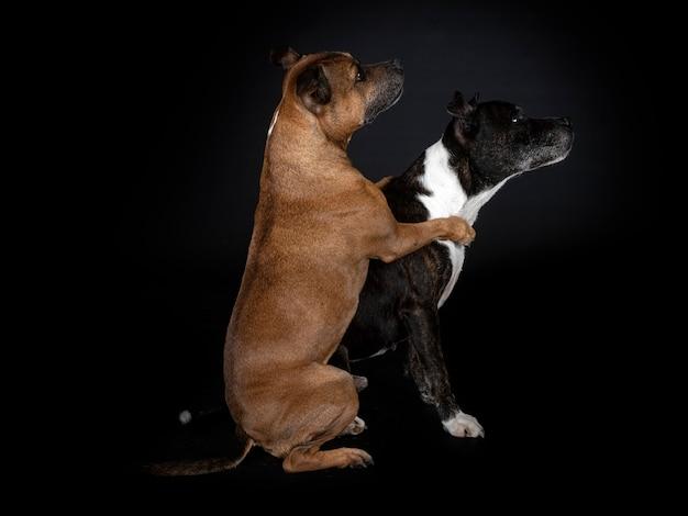 Staffordshire Bull Terriery Przed Czarną ścianą Premium Zdjęcia