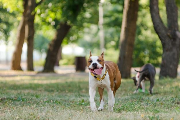 Staffordshire terriery przechadzają się latem po parku.