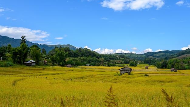 Stara chata pośrodku żółtego pola ryżowego w chiang mai, tajlandia