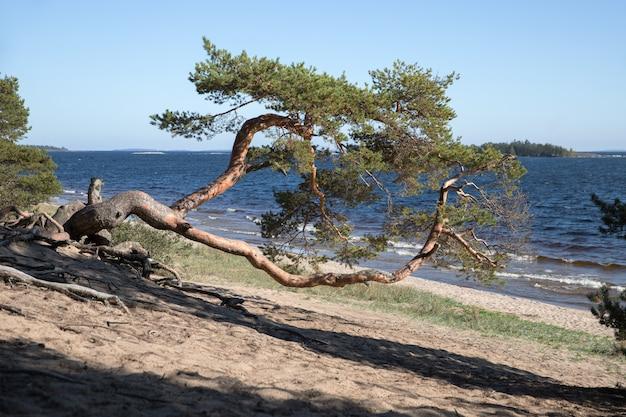Stara zakrzywiona sosna na brzegu. samotna sosna z zakrzywioną beczką, jezioro na tle.