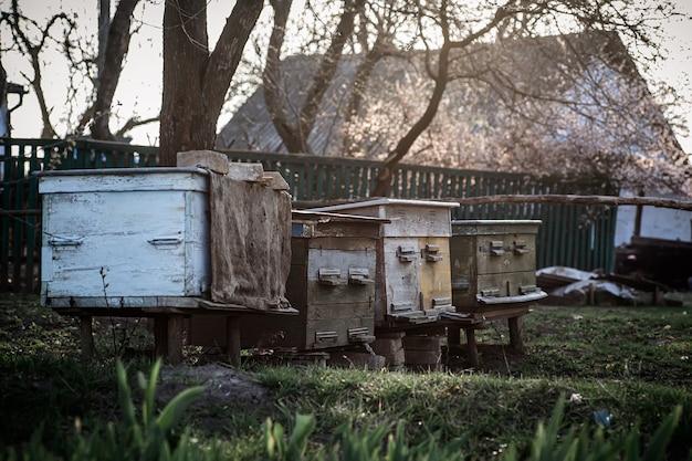 Stare drewniane ule na pasiece. kwitnąca wiśnia z pyłkiem dla rozwoju pszczół w kwietniu. pszczelarstwo