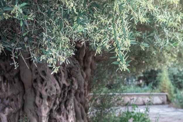 Stare drzewo oliwne ze zdeformowaną korą kwitnące wiosną