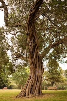 Stare drzewo w ogrodzie botanicznym w sydney pod słońcem w ciągu dnia