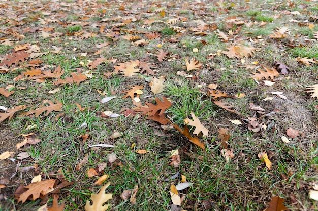 Stare jesienne liście - sfotografowane zbliżenie starych jesiennych liści leżących na ziemi, opadłych liści, mała głębia ostrości