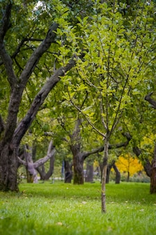 Stare krzywe jabłonie, sad w jesiennym parku miejskim.