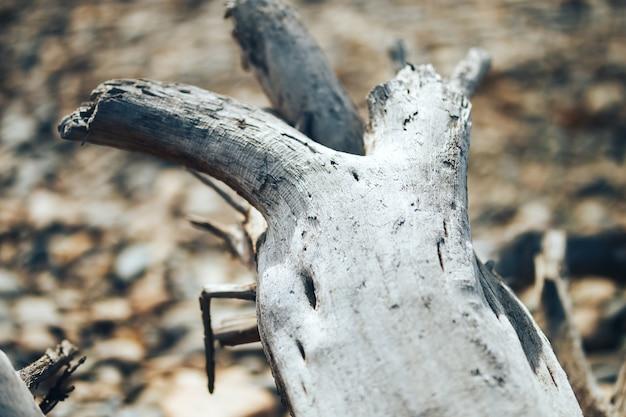 Stare powalone drzewo szkopuł na wybrzeżu rzeki wczesną wiosną