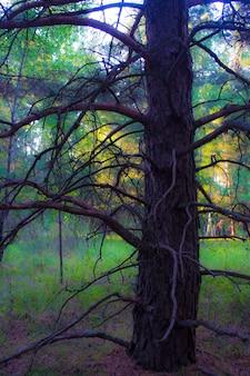 Stare rozłożyste drzewo w lesie
