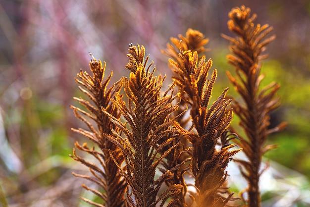 Stare suche brązowe liście zeszłorocznej paproci.