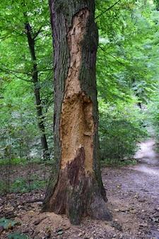 Stare, suche, zjedzone przez owady drzewo o wyraźnej strukturze